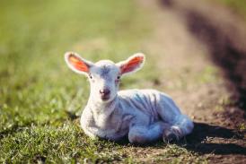 A lamb enjoying the sunshine